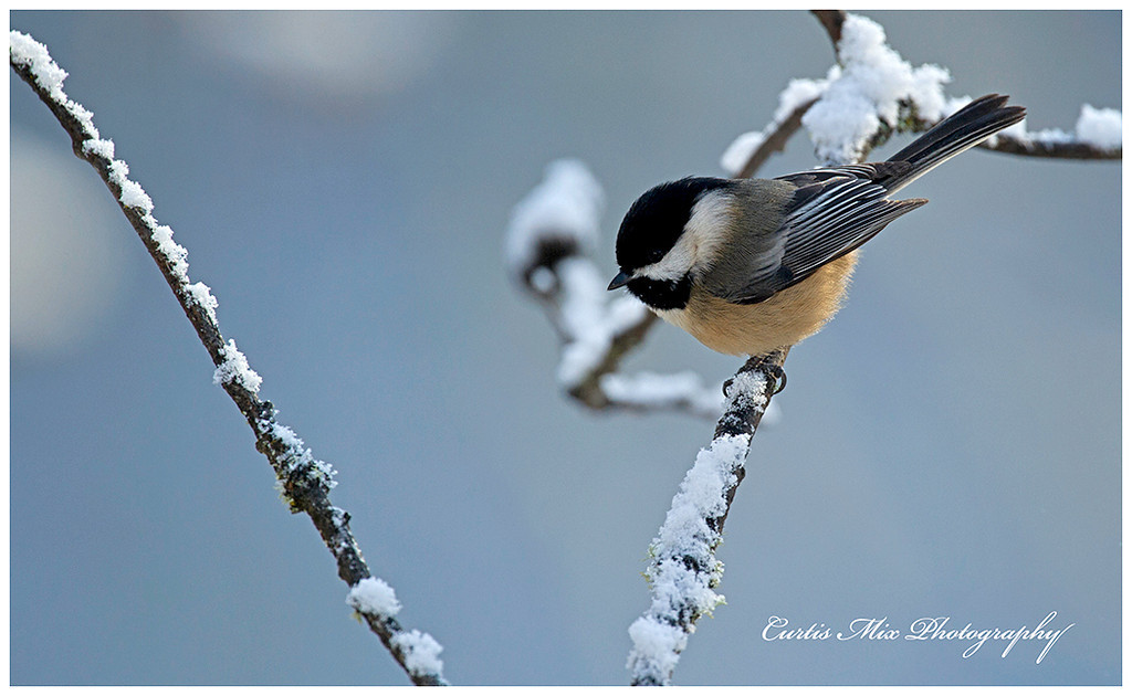 Black-capped Chickadee on a snowy morning.