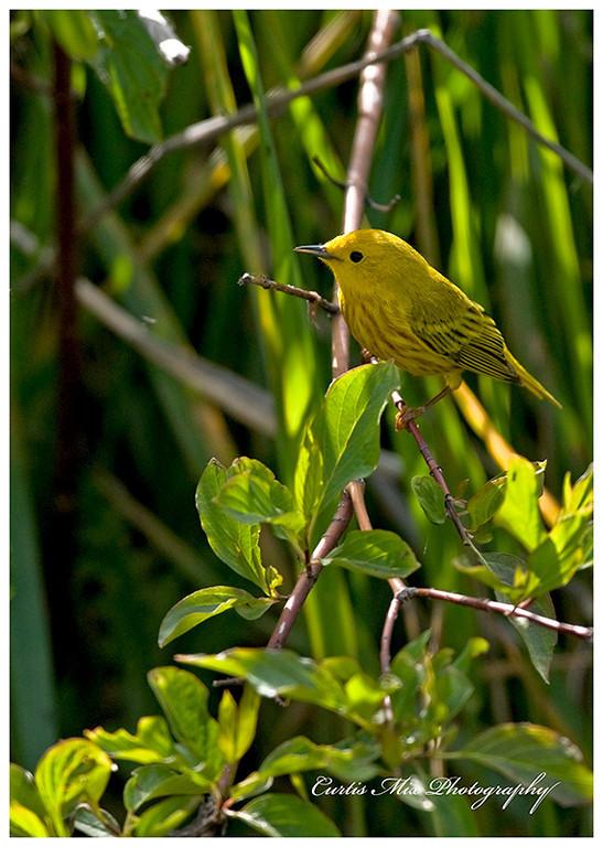 Back lit Yellow Warbler.