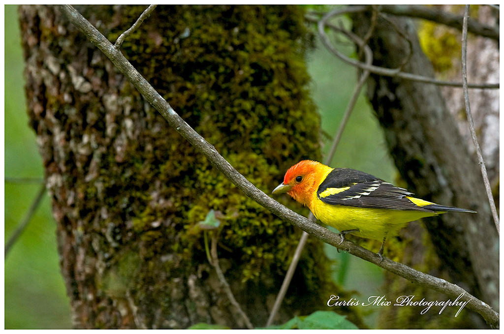 Western Tanager hunting insects in the woods.