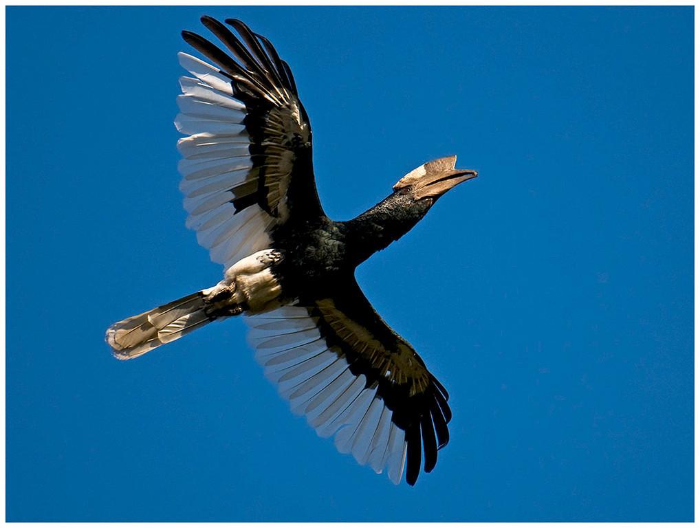 Black and White Casqued Hornbill.