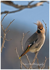 Bad hair day!  Bohemian Waxwing.