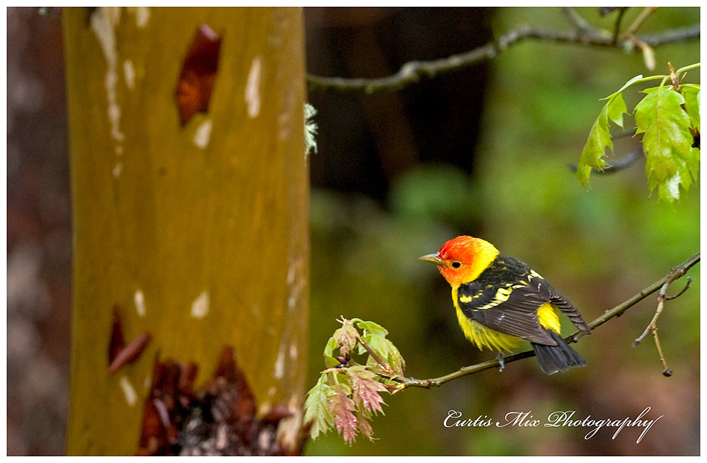 Western Tanager hunting.