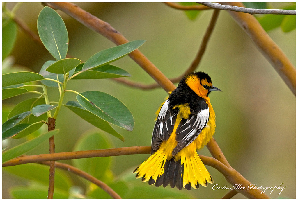 Bullocks Oriole with tail fanned out.