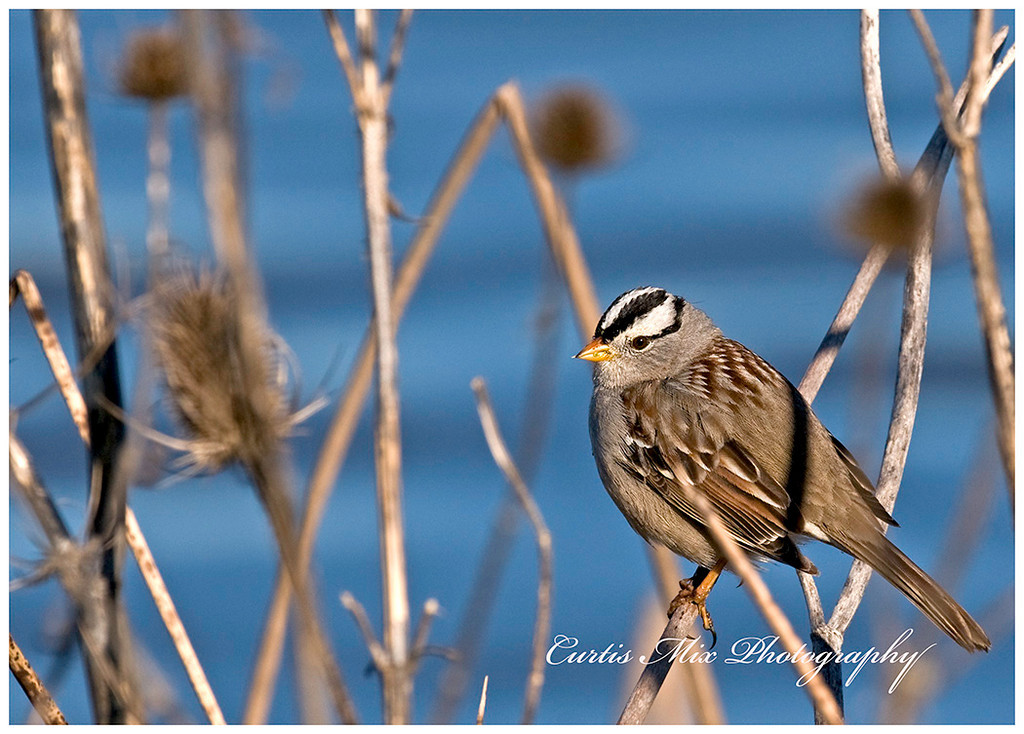 White Crowned Sparrow in the teasels.