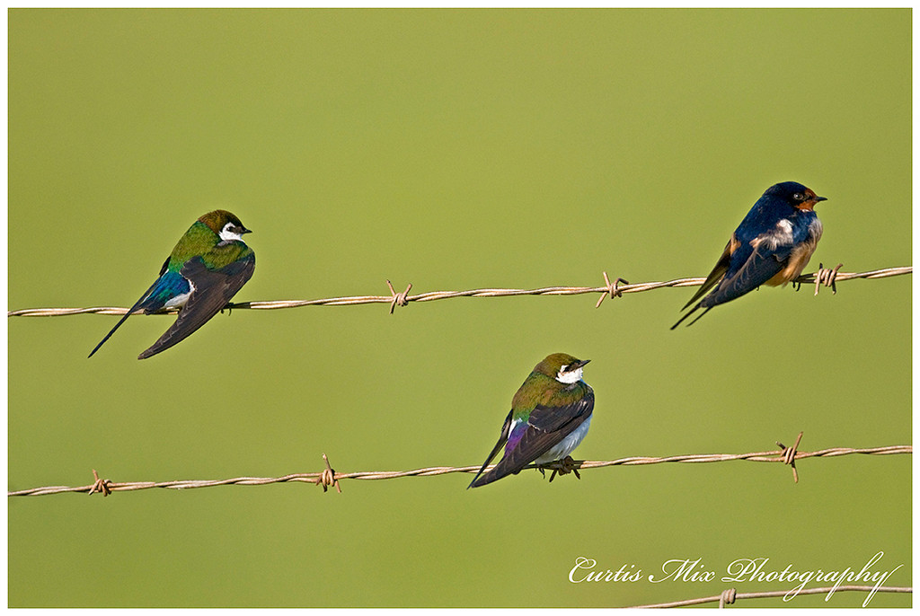 Two Violet-Green Swallows and one Barn Swallow.