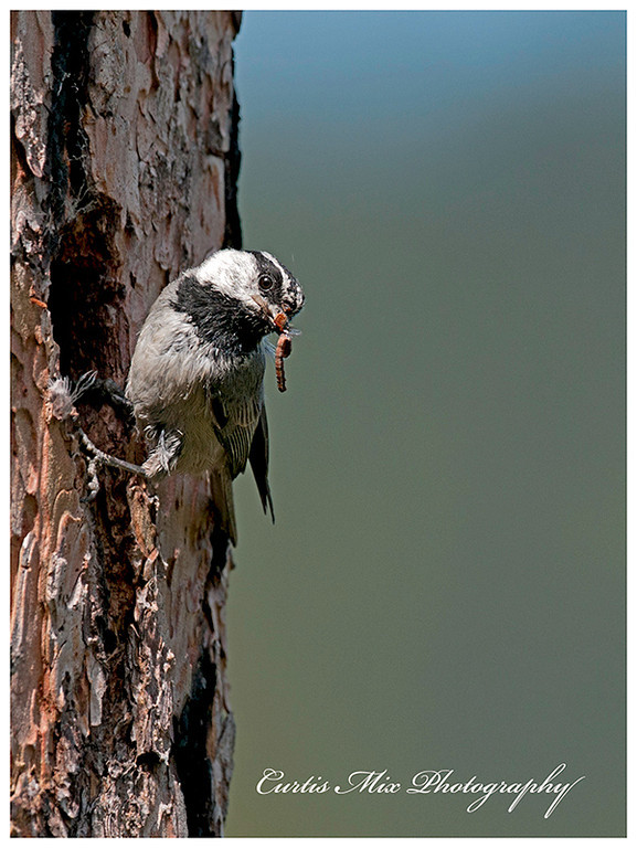 A Mountain Chickadee brings insects back to it's young.