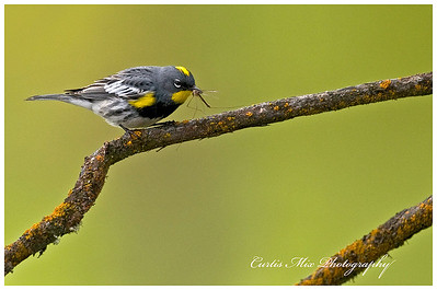 Yellow-Rumped Warbler with a Crane Fly.
