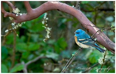 Lazuli Bunting in the thicket.