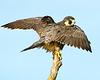 Peregrine Falcon 3