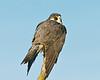 Peregrine Falcon 5