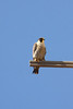 IMG_6635Peregrine_Falcon - Copy
