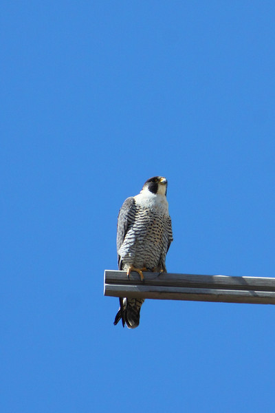 IMG_6629Peregrine Falcon