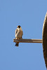 IMG_6633Peregrine_Falcon - Copy
