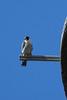 IMG_6633Peregrine Falcon