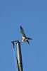 IMG_6642Peregrine Falcon