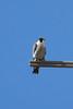 IMG_6635Peregrine Falcon