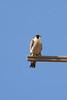 IMG_6635Peregrine_Falcon