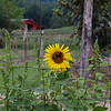 Sunflower with a view of the Red Barn