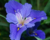 Blue Flag. A sacred flower in some European traditions.