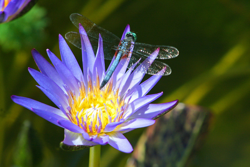 Dragonfly, Waterlily, Purple.