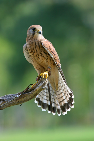 Small Falcon on Perch