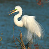 Great Egret Speaks