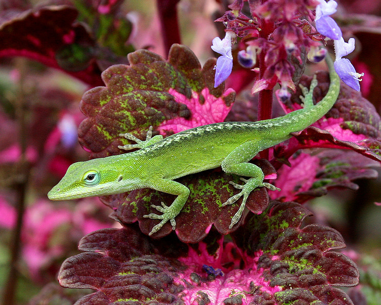 Anole on Coleus (Otherwise known as Chameleon's Dilemma, or Match This?)