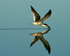 Black Skimmer Reflected. This photo won Grand Prize at the 2007 Fall Outing of CNPA.