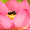 Bumblebee in Lotus