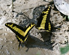 butterfly -- Heraclides thoas