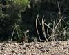 Tambopata River nighthawks 1