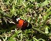butterflies -- mystery 4b