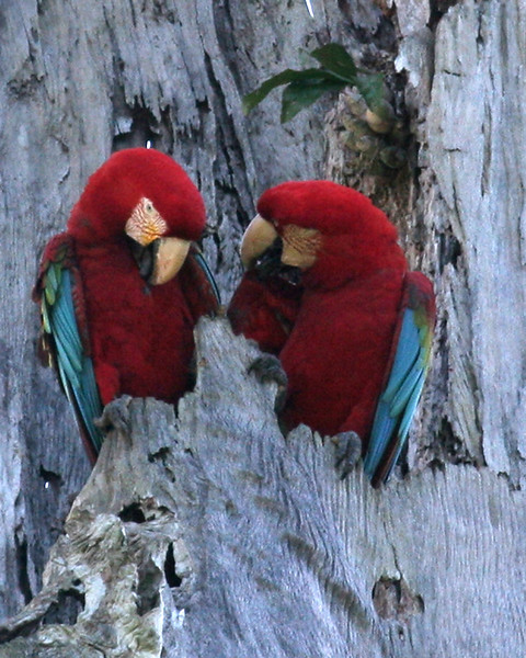 TRC red-and-green macaws 2