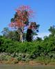 Tambopata River flowering tree 1