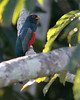 Tambopata tower blue-crowned trogon