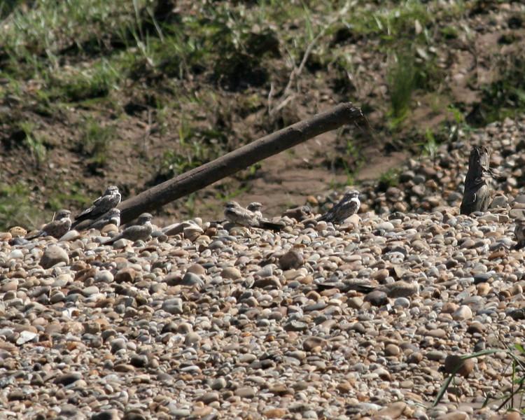 Tambopata River nighthawks 2