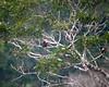 Amazonas brown mandibled aracari digiscope July 26