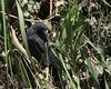 Hawk -- black 1