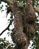 Oropendula - Amazonian 2