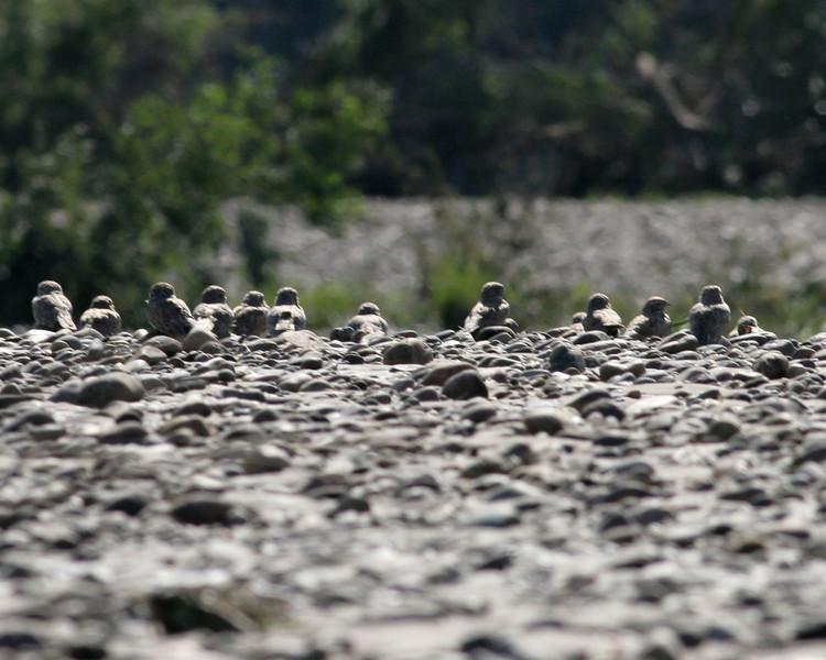 Tambopata River nighthawks 3