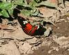 butterflies -- mystery 4