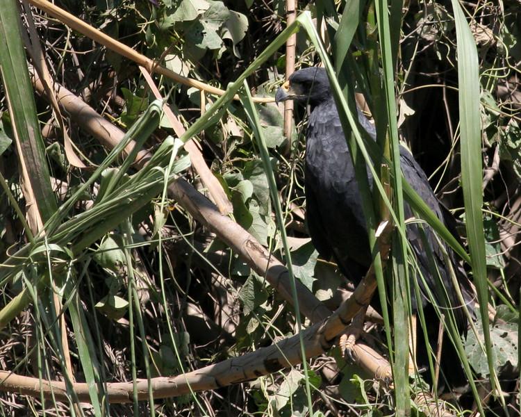 Hawk -- black 2