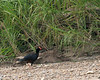 TRC razor-billed curassow