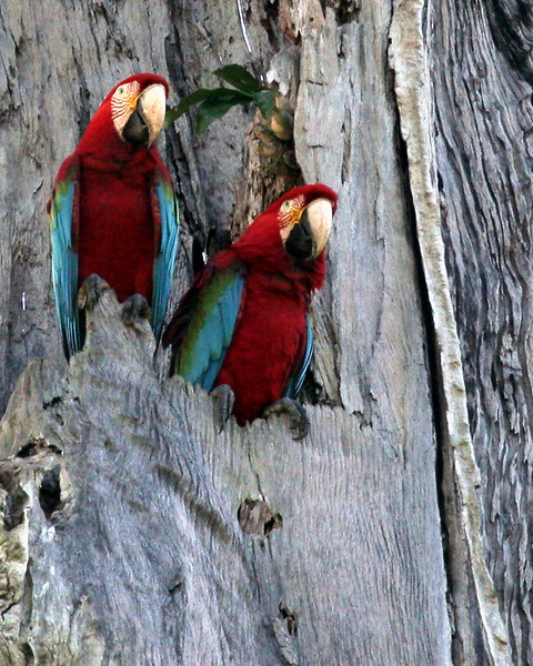 TRC red-and-green macaws 3