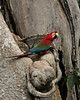 TRC red-and-green macaw