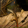 Cercosaura ocellata bassleri