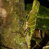 Enyaloides laticeps 3