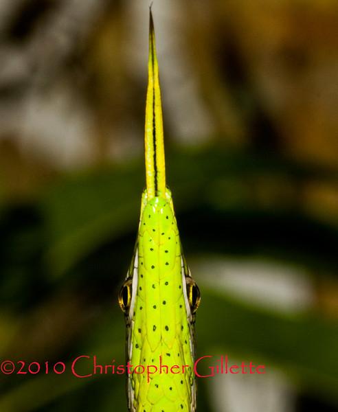 Oxybelis argenteus