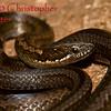 Taeniophallus brevirostris b
