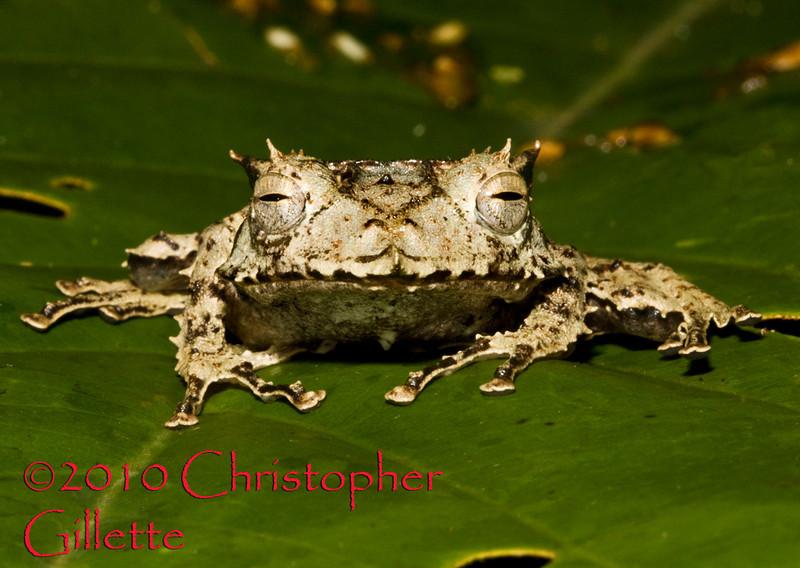 Hemiphractus proboscideus